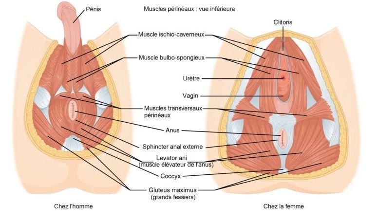 zone du perinée femme et homme