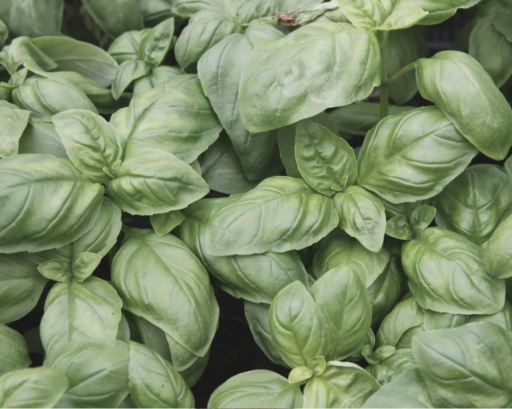 basilic plantes medicinale